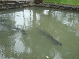 ikan arapaima amazon
